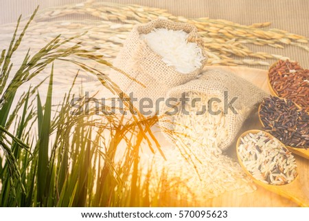 Double exposure of Rice field and Jasmine rice, Brown, Red, Mixed and Riceberry in small hemp sacks.