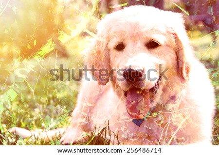 Double exposure picture of cute golden retriever puppy lying on grass. - stock photo