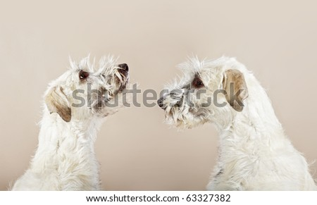 double Irish wolfhound dogs looking to himself