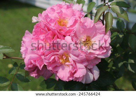 Double medium pinks - stock photo