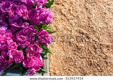 Double petaled purple tulips in a raised garden bed with a mulch background.