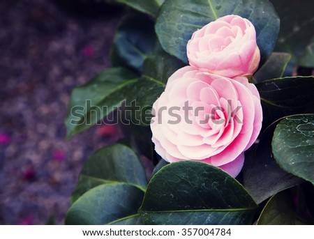 Double pink Camellia, beautiful funky blossoms, Instagram-like vintage effect added - stock photo