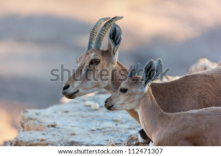 Double portrait of a family nubian ibex with the kid (Capra nubiana) in Mizpe Ramon - Israel