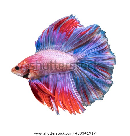 Double Tail Betta fish, siamese fighting fish on white background