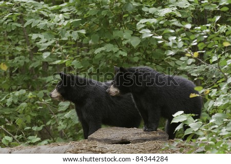 Double Trouble.  Two black black bear cubs (Ursus Amricanus) looking for mischief,  gaze intently across forest. - stock photo