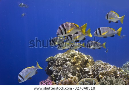 Doublebar bream (acanthopagrus bifasciatus), Red Sea, Egypt - stock photo