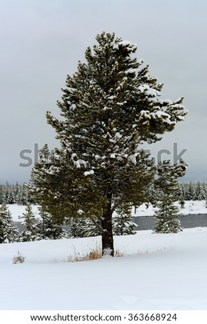 Douglas Fir covered with snow in Yellowstone National Park - stock photo
