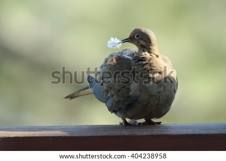 Dove bird perching on a deck rail with feather in her beak - stock photo