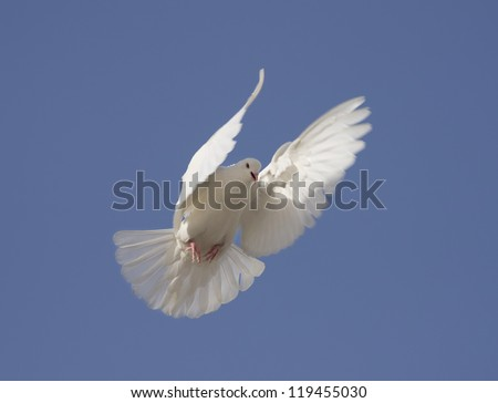 dove fly in air