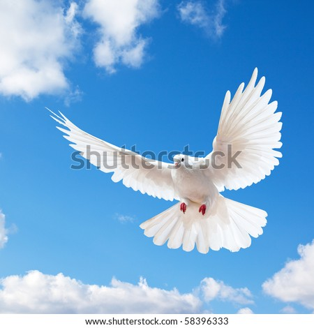 Dove in the air with wings wide open in-front of the blue sky - stock photo