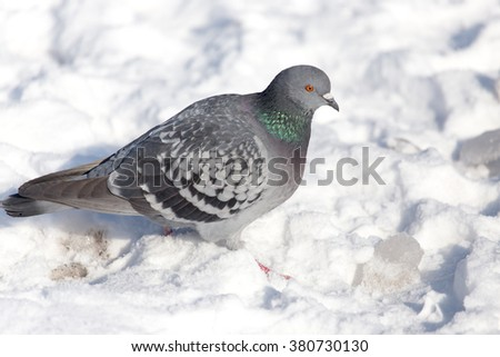 dove in the snow on the nature