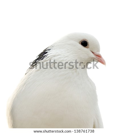 dove isolated on a white background - stock photo