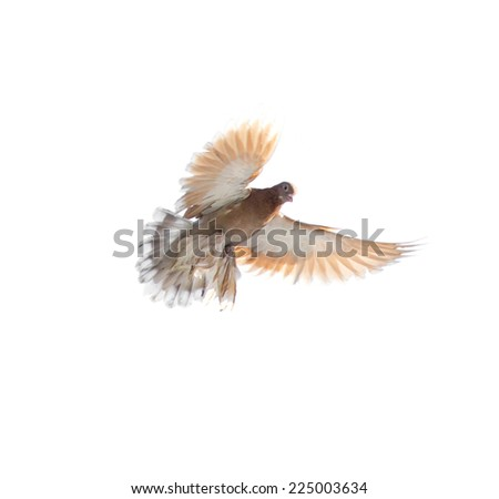 dove on white background - stock photo