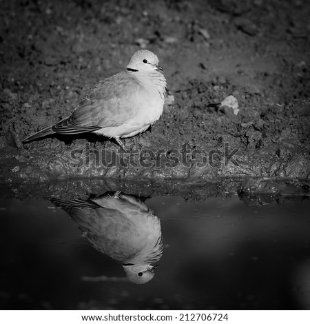 Dove sitting on ground with clear reflection in water, black and white