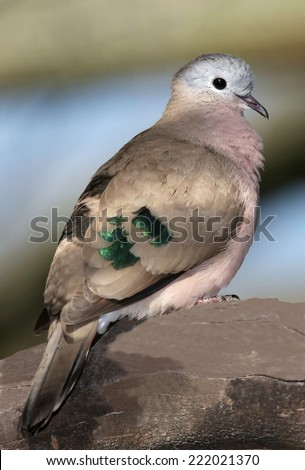 Dove  with shiny green feathers on it's wings - stock photo