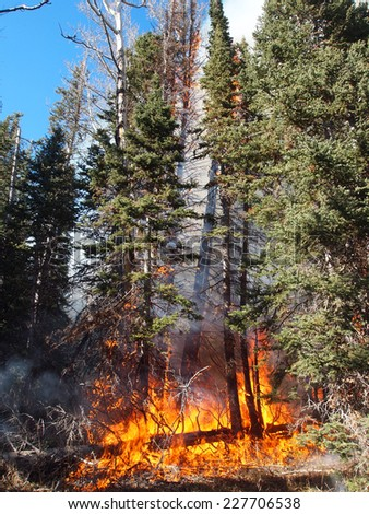 Downed tree on fire in the forest. - stock photo