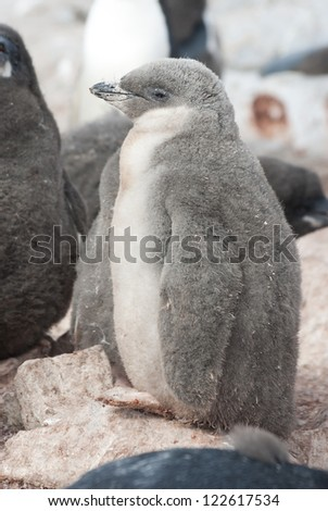 Downy chick Chinstrap summer day. - stock photo