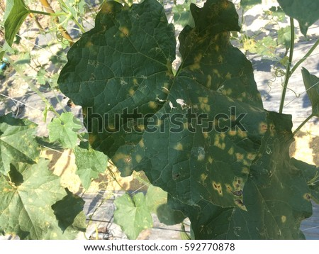 Downy mildew of cucurbits (luffa), caused by Pseudoperonospora cubensis
