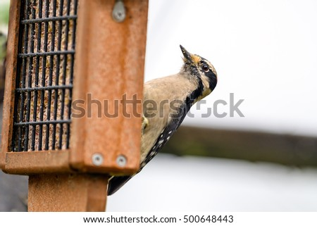 Downy woodpecker (Dryobates pubescens) eating from a suet feeder