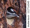 Downy Woodpecker fledgling; close up at nest hole in a Ponderosa Pine tree that was charred by forest fire - stock photo