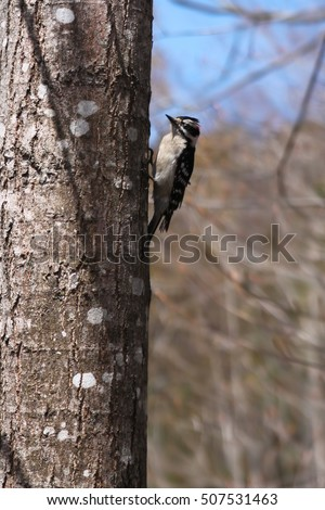 Downy woodpecker in New Brunswick, Canada in early springtime