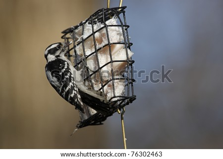 Downy Woodpecker (Picoides pubescens medianus), Eastern subspecies, female foraging for food on a wire suet feeder in New York City's Central Park in Winter. - stock photo