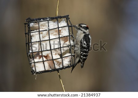 Downy Woodpecker (Picoides pubescens medianus), male feeding from a wire frame suet feeder in winter. - stock photo