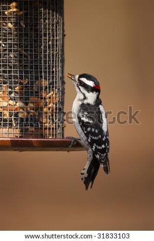 Downy Woodpecker (Picoides pubescens medianus), male on a feeder. - stock photo