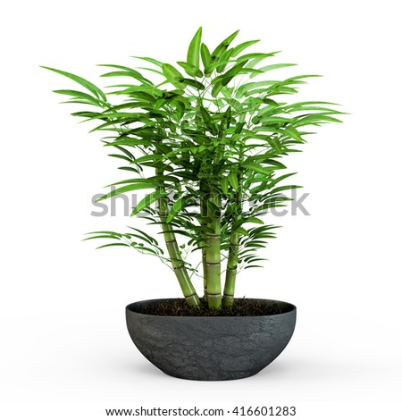 Dracaena braunii plants in flowerpot. Bamboo House plate in the pot isolated on white background. 3D Rendering, 3D Illustration.