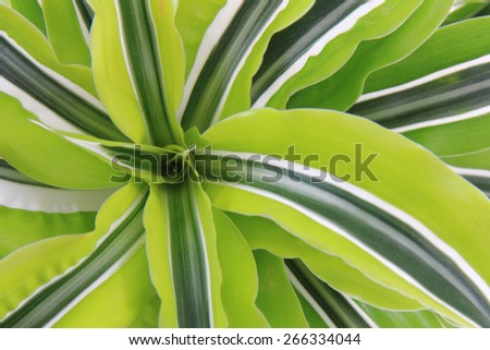 dracaena plant as very nice green natural background - stock photo