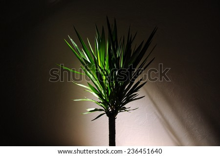 Dracaena Plant with dramatic lighting in an empty room - stock photo