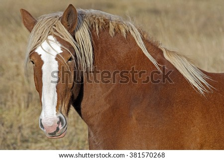 Draft Horse, portrait closeup
