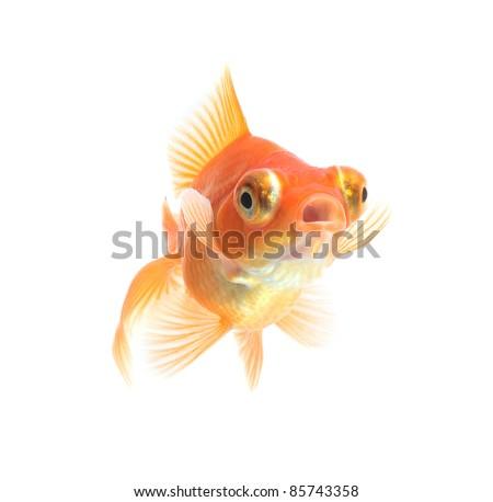 Dragon eye goldfish isolated on white background - stock photo