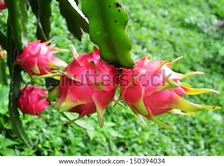 dragon fruit in garden - stock photo