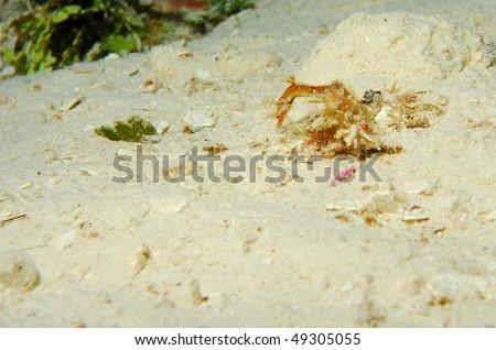 Dragon seahorse - stock photo
