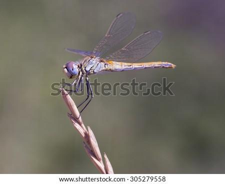 dragonfly - stock photo