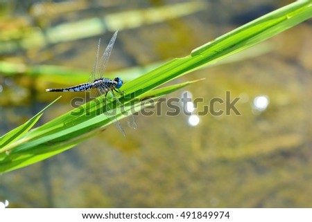 Dragonfly :Acisoma panorpoides IDetailed macro image of dragonfly on green plant