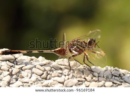 Bộ sưu tập Côn trùng Stock-photo-dragonfly-aethriamanta-aethra-96169184