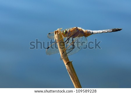 Dragonfly Broad-bodied Chaser - Libellula depressa