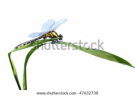 dragonfly close up and green  plant isolated on white - stock photo