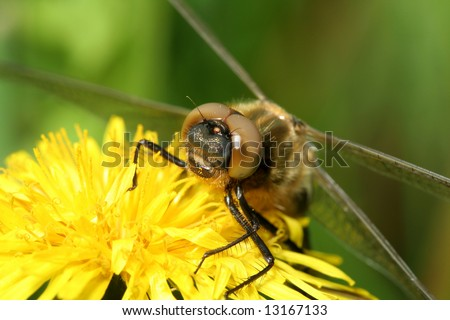 dragonfly (Cordulia aenea) siting on dandelion
