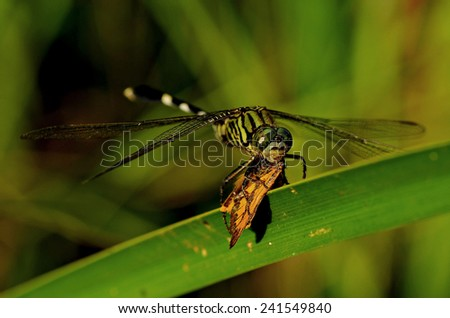Dragonfly eating a butterfly on a grass with green background - stock photo