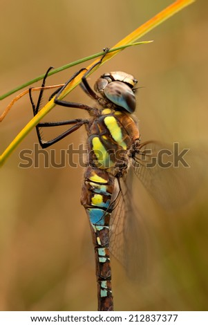 Dragonfly hanging on to a grass halm