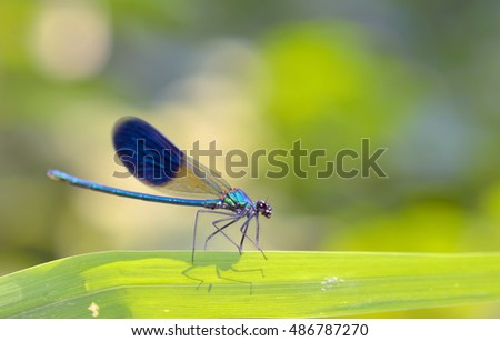 dragonfly in forest (coleopteres splendens)