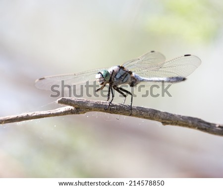 dragonfly in nature. macro