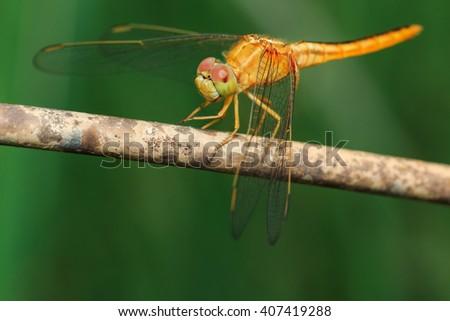 Dragonfly, Macro dragonfly, dragonfly , insect, animal, nature,macro,bug. - stock photo