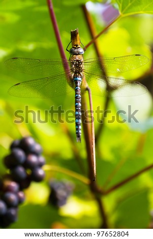 Dragonfly on a grapevine - stock photo