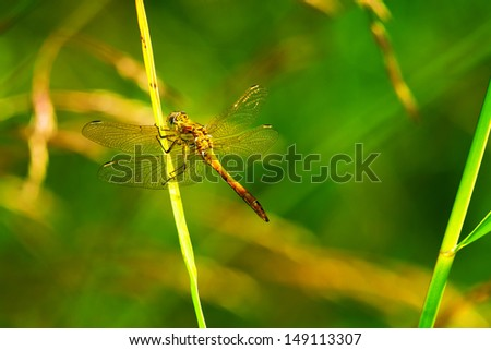 Dragonfly on a grass straw in nature