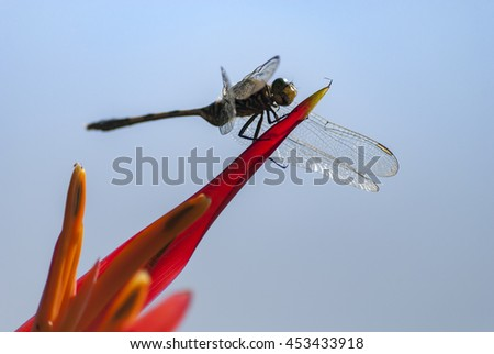 Dragonfly on Canna Flower