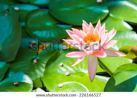 Dragonfly on Water Lily Flower. Blurred background.  Focus on dragonfly and flower.